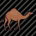 animal, arabian, camel, desert, sahara