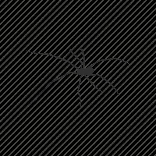 animal, arachnid, carpenter spider, cellar spider, daddy long legs, spider icon