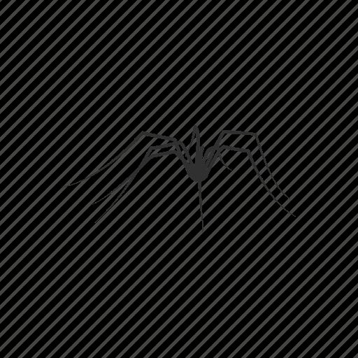 animal, arachnid, carpenter spider, cellar spider, daddy long legs, invertebrates, spider icon