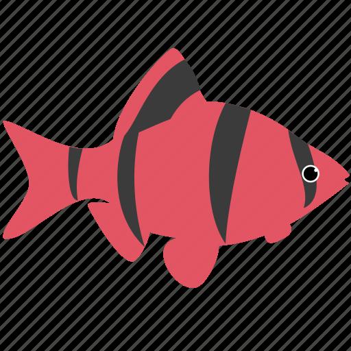 animal, barb, glofish, ocean, red, sea, tiger icon