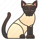 cat, pedigree, shorthair, siamese, silky