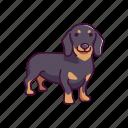animal, dachshund, dogs, pet