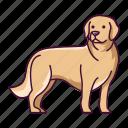 animal, dogs, golden, pet, retriever