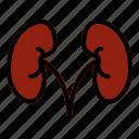 kidney, anatomy, medicine, organ, medical