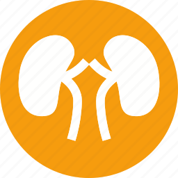 anatomy, body, human, kidney, organ, part, renal icon