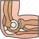 anatomy, elbow, joint, ligament, muscle