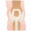 anatomy, joint, knee, ligament, orthopedic icon