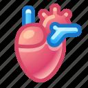 heart, organ, anatomy
