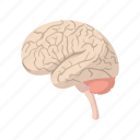 anatomy, brain, cartoon, cerebellum, health, human, science icon