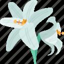 lilium, flower, flora, plant, nature