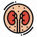 anatomy, kidney, medical, organ icon