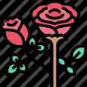 rose, flower, blossom, romantic, love