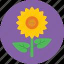 beauty, blossom, flower, petals, sunflower