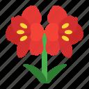 amaryllis, bloom, christmas, flower, gardening, plants, winter